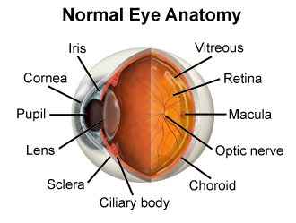 Anatomy of the Eye including iris, pupil and cornea